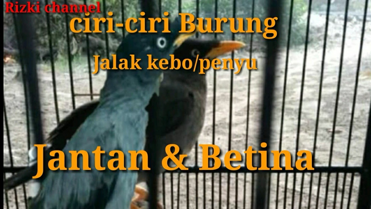 Ciri Ciri Burung Jalak Kerbau Jantan Betina Youtube
