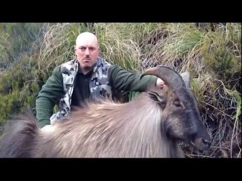 Hunting in New Zealand for Tahr by hunters from Azerbaijan