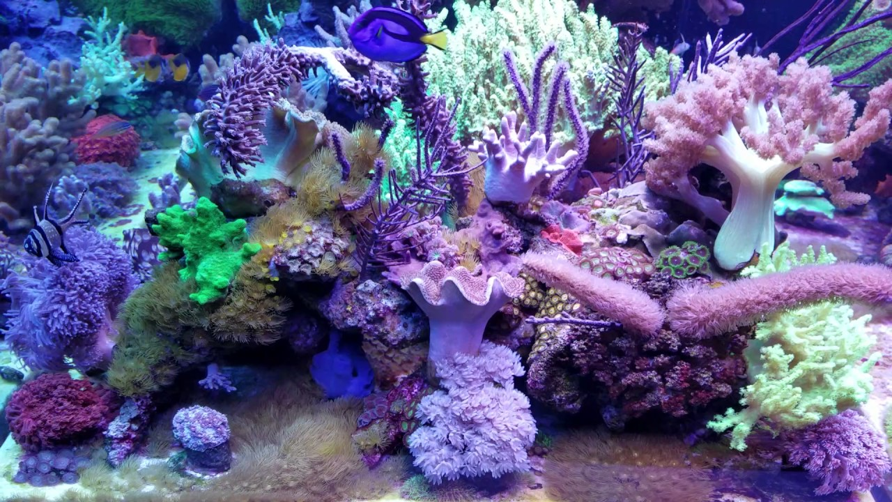 LiveAquaria SPS coral display tank - YouTube