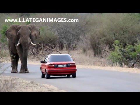 Huge Bull Elephant gets revved off road