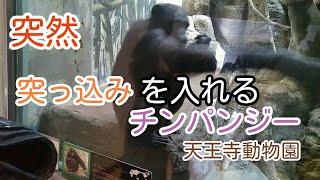 天王寺動物園のチンパンジーが突然観ている女の子に突っ込みを入れるシ...