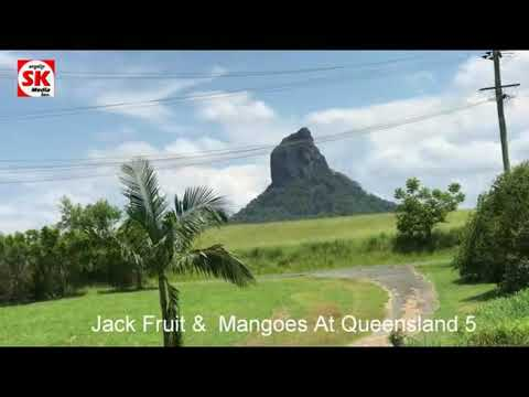 SK Media  Report From Queensland Jack Fruit & Mangoes 5