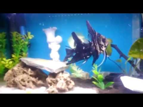 Angelfish Fry Growth Stages {Wriglers To Free Swimming}