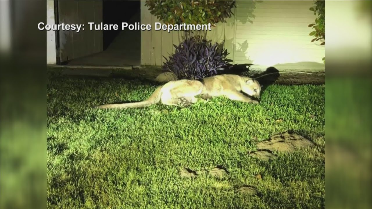 Tulare residents react to a mountain lion roaming their neighborhood this weekend