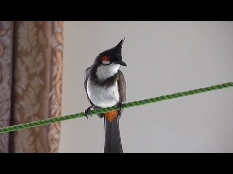 Our guests - the little bulbuls - 1