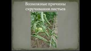 Недостаток элементов питания у томатов   и причины скручивания листьев(, 2013-05-17T05:56:17.000Z)