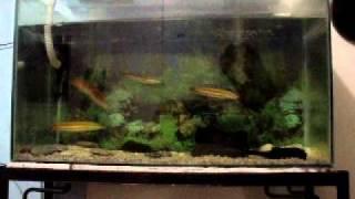 snakehead vs. tiger fish