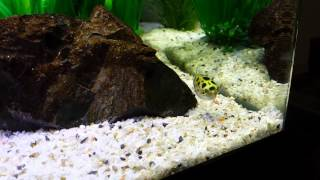 Green spotted puffers tank