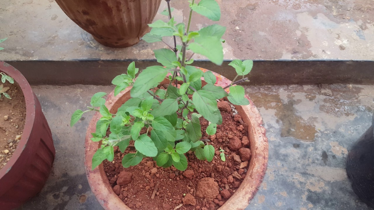 how to grow a more bushy tulsi