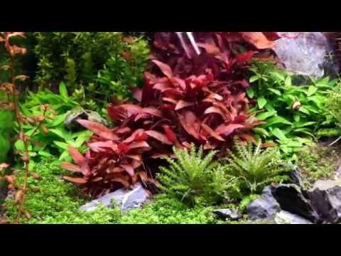 How to grow : Alternanthera Reineckii