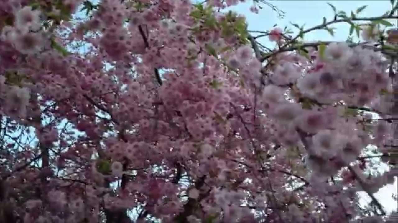 Beautiful Pink Flowering Weeping Cherry Tree Youtube