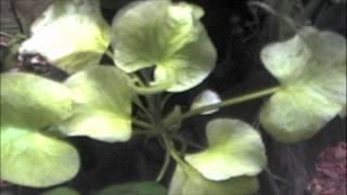 Banana Plant Basic Care; Nymphoides Aquatica