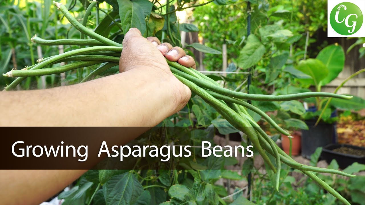 How To Grow Asparagus Beans Chinese Long Beans Yardlong