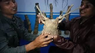 Khasiat Bambu - Bambu Bertuah