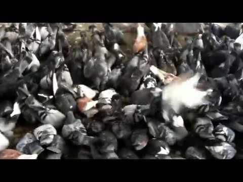 Crazy Pigeon Feeding Frenzy on Chicago sidewalk