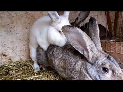 Как ебутся кролики