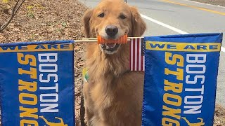 Therapy Dog Waves 'Boston Strong' Flags to Cheer On Marathon Runners thumbnail