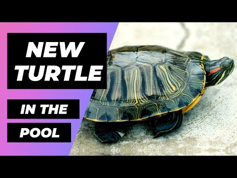 NEW Turtle At The Pool 🐢 Nueva Tortuga En Estanque 🐢 Trachemys Types | Tipos de Trachemys