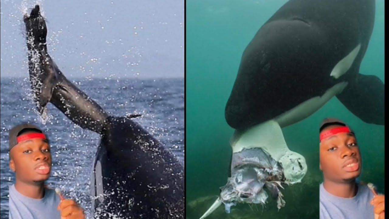 Download Why Orcas are The Most Disrespectful Animals on the Planet