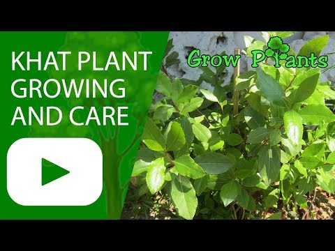 Khat Plant - Growing And Care ( Edible And Medical)