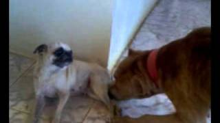 Pug Carlino Vs Pitbull