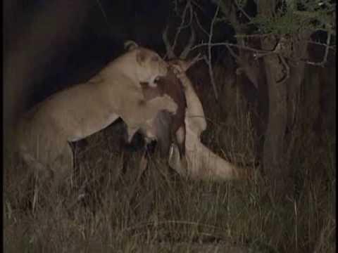 Lioness vs Male Lion