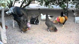 chicken vlog 5 stupid video chicken the chicken is chicken kitchen zombie speaking