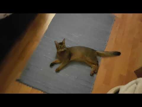 Skoda the somali kitten