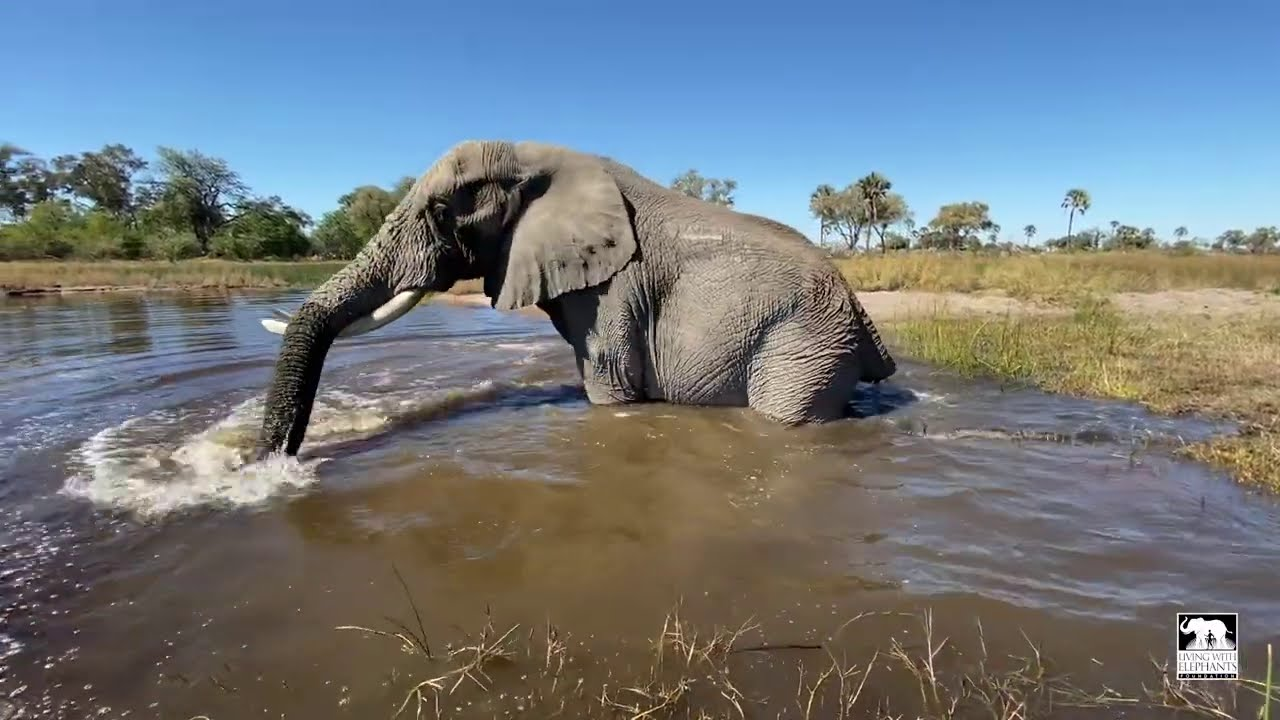 Poop in the pool | Living With Elephants Foundation | Botswana