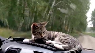 Funny cats dogs, cute animals - Animal Compilation January 2016 | Funny Berry Animals #50