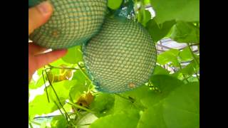 Green Evolutions Aquaponics Cantaloupe 15.6.12