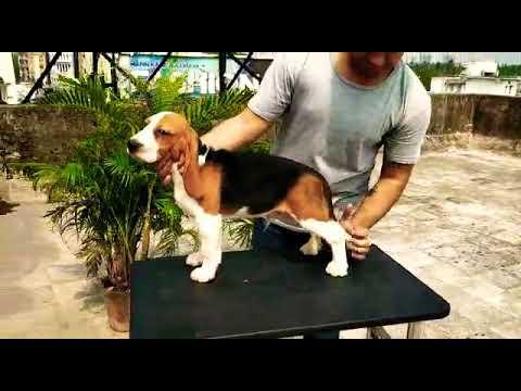 Beagle for sale 9999039993 available in Delhi-51 , biggest dog center across Delhi , healthy beagle