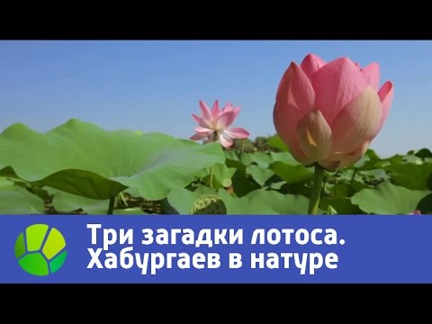 Три загадки лотоса Хабургаев в натуре | Живая Планета