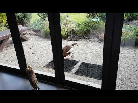 Egyptian Geese vs Bengal Kittens
