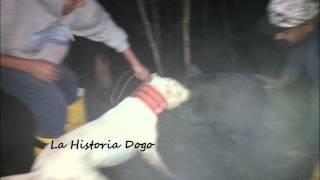 International/Eukanuba National Champion Comanche de La Historia Dogo Hog Hunting