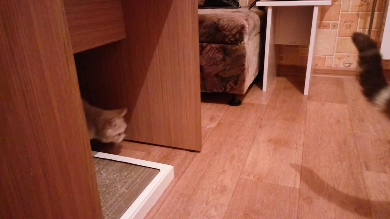 купить шотландского вислоухого котенка - YouTube