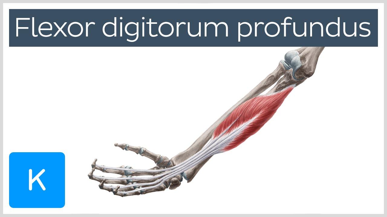 Flexor digitorum profundus muscle - Origin, Insertion, Innervation ...