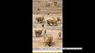 Видео прикол как едят животные