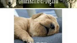 Golden Retriever Puppies - Temperament To Look For