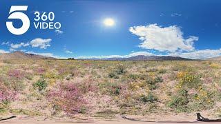 The California Desert Super Bloom | KTLA 360