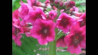 ПРИМУЛА,  или  ПЕРВОЦВЕТ  (PRIMULA)  сем. Первоцветные