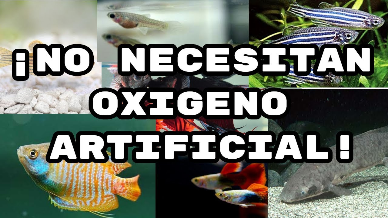 6 peces que no necesitan oxigeno artificial friscomisco