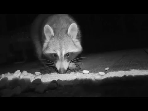 Raccoon Steals Food Scoop | Filmed with Infrared