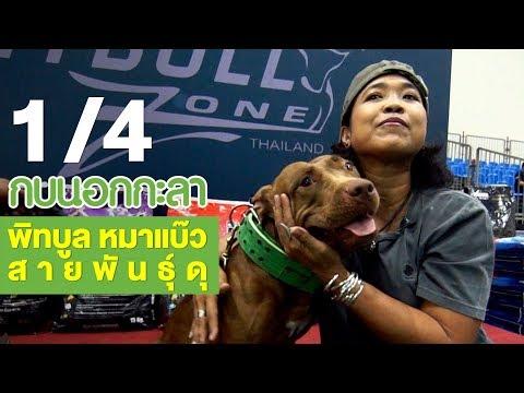 พิทบูล หมาแบ๊วสายพันธุ์ดุ - วันที่ 26 Jan 2018