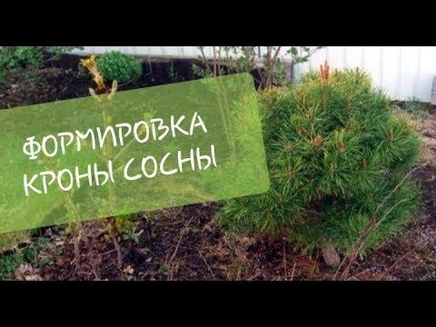 ФОРМИРОВКА кроны СОСНЫ. Ответы на вопросы/Мой опыт (шар) 2013-2019гг/