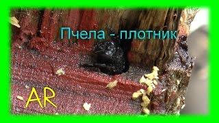 Пчела - плотник / Xylocopa valga. Пчела, которая грызет дерево.(Пчела - плотник / шмель - плотник ( Xylocopa valga / Xylocopa violacea ). Недавно поселились у меня такие гости под навесом...., 2015-05-31T02:15:20.000Z)