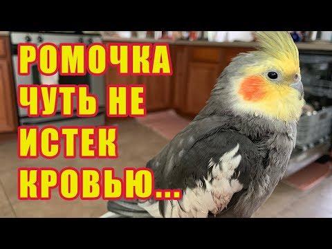 Как остановить кровь у попугая из клюва