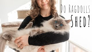 Do Ragdoll cats shed? | Ragdolls Pixie and Bluebell