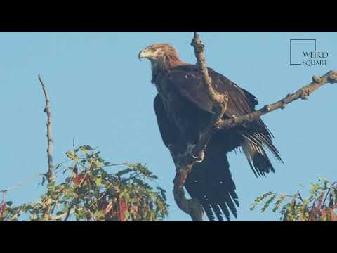 Interesting facts about pallas's fish Eagle by weird square