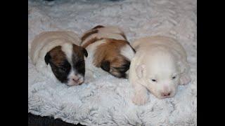 Coton de Tulear Puppies For Sale - Vivian 1/21/21